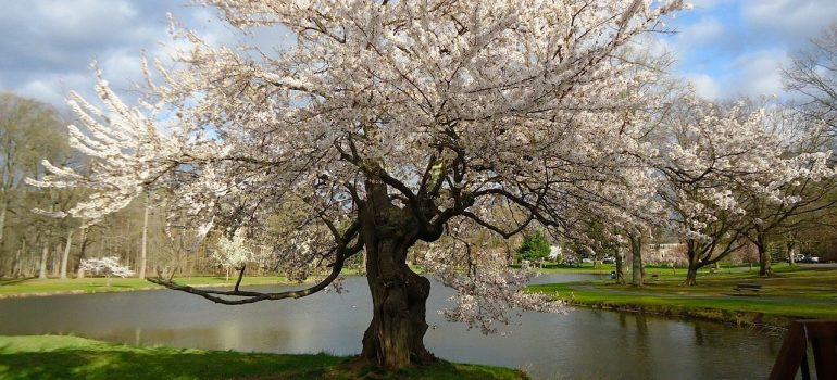 A beautiful Japanese pink cherry tree near a pond in the park.
