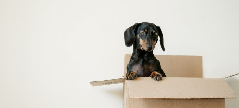 A puppy inside a moving box.