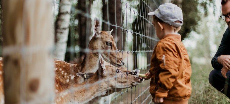 boy feeding deer through fence